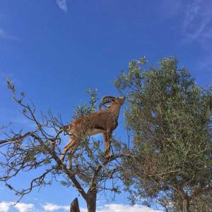 ibex-eating-on-a-tree